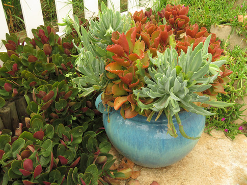 Kalanchoe sexangularis and Kleinia fulgens in a sky blue container