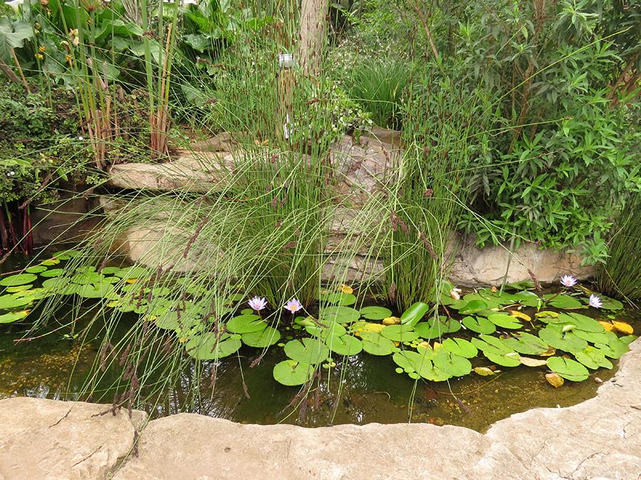 A narrow shelf of water lilies