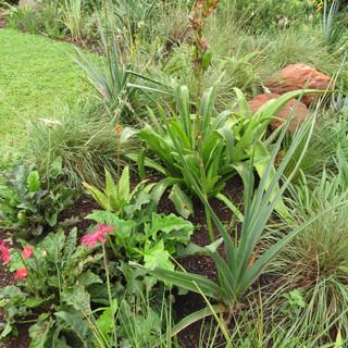 Barberton Daisy & Aloe cooperi