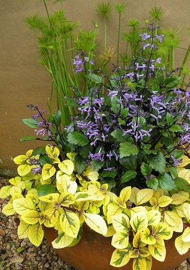 Plectranthus 'Sasha', Plectranthus Mona Lavender & Cyperus prolifer