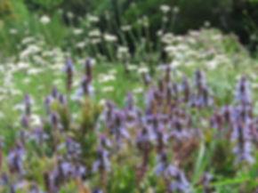Plectranthus neochilus