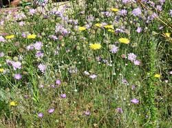 Scabiosa, Geranium and Ursinia