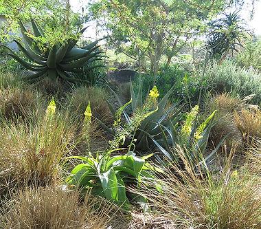 Grasses, aloes & Bulbine latifolia in the grassland savanna