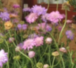 Scabiosa africana incisa columbaria hybrids
