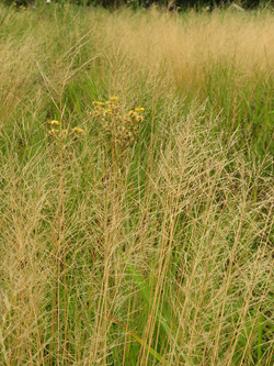 Blond grasses for texture