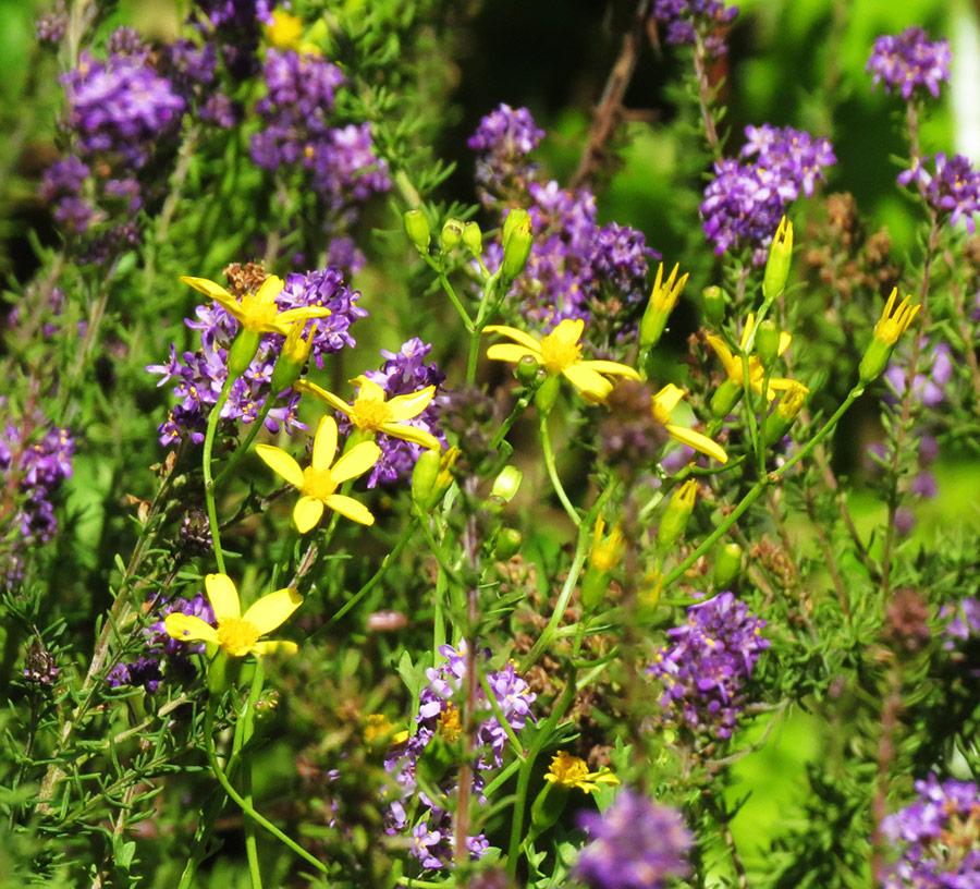 Cineraria saxifraga and Selago speci