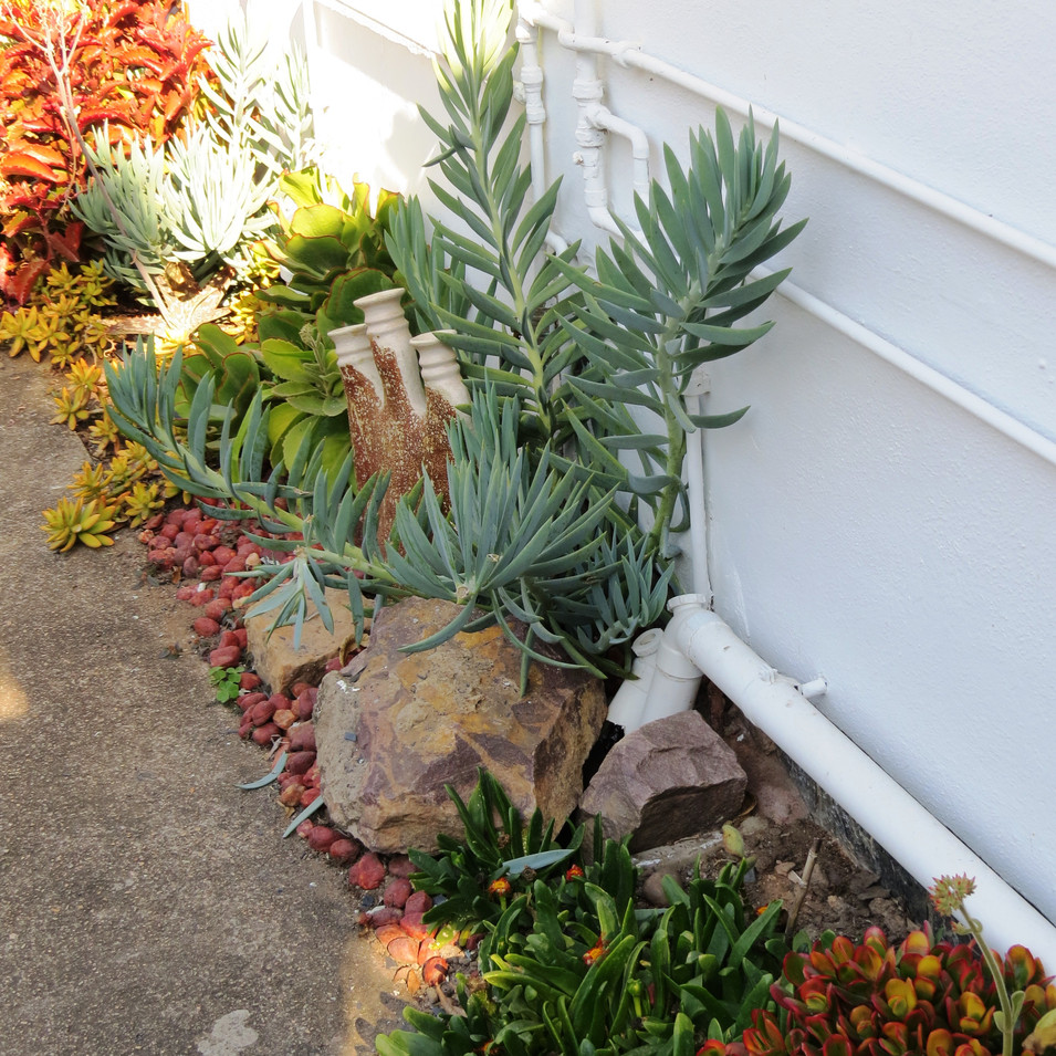 Front: Glottiphyllum; Curio ficoides; Crassula ovata variegated.