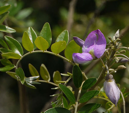 Mundulea sericea Image by Dinesh Valke via Wiki Commons