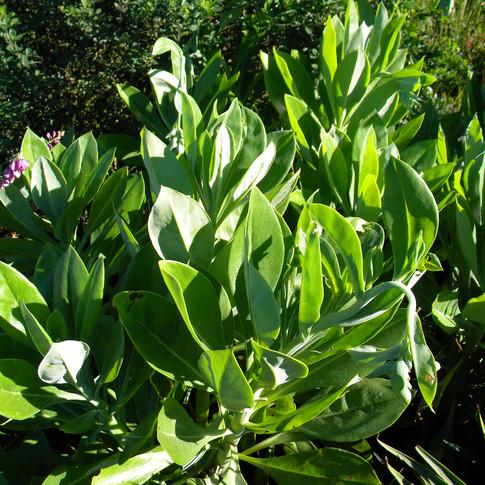 Leaves of Kleinia galpinii
