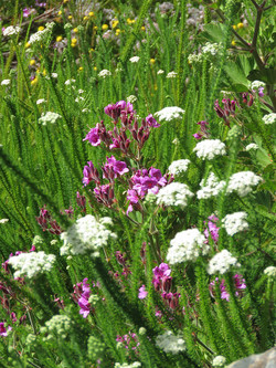 Designed grassland or fynbos meadows