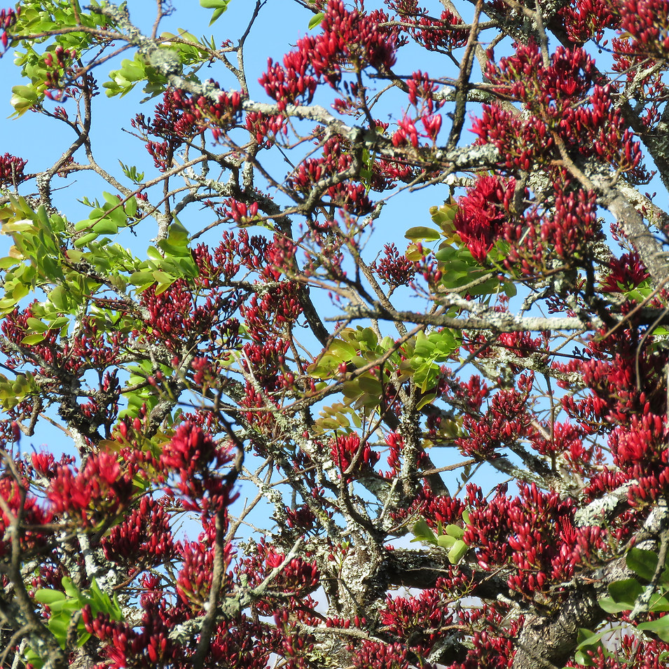 Spring colour of the Schotia
