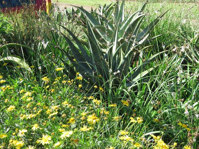 Euryops pectinatus, Chlorophytum and Aloes