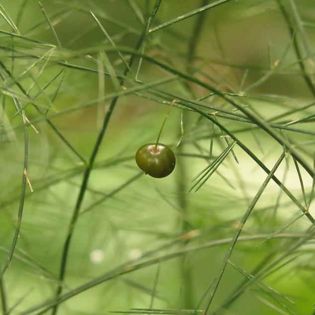 Asparagus virgatus seed