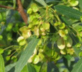 Dodonaea angustifolia