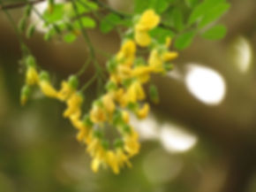 Calpurnia aurea