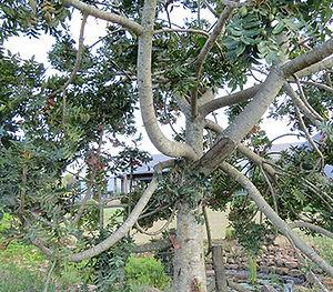 Wild Plum tree KZN wind barrier