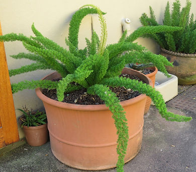 Cats tail fern