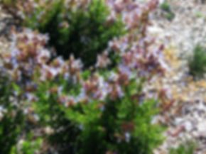 Salvia chamaleagnea