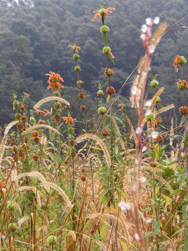 Setaria sphacelata and Leonotis in a winter grassland