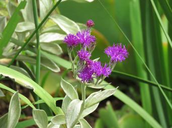 Hilliardiella aristata (Vernonia natalensis)