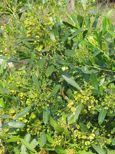 Dodonea viscosa var. angustifolia