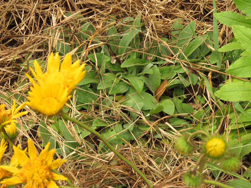 Haplocarpha scaposa. Berkheya flowers in the foreground