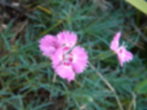 Dianthus zeyheri