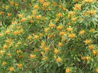 Strophanthus-in-flowerStro