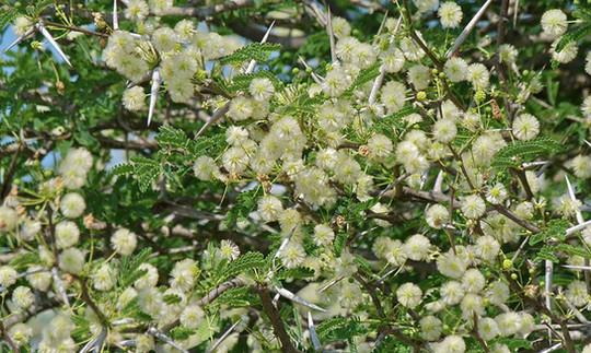 Vachellia (Acacia) tortilis)