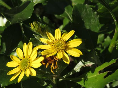 Chrysanthemoides-monilifera