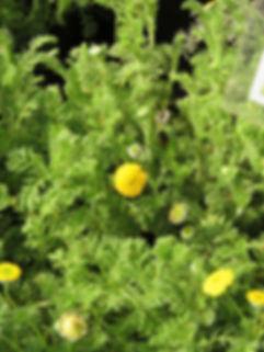 Cotula sericea