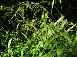Shade grasses