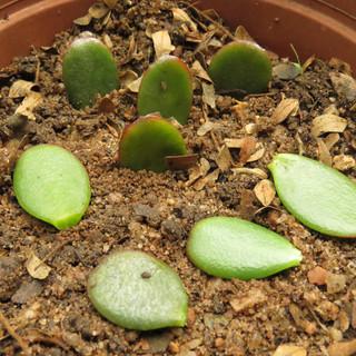 Crassula ovata leaf cuttings