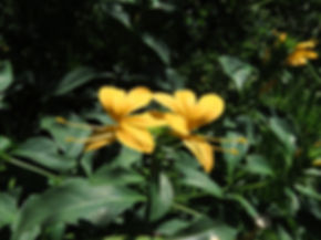Barleria prionitis subsp. delagoensis