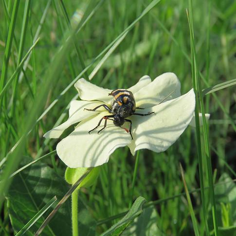 Beetle on Thunbergia atriplicifolia