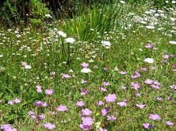 Geranium incanum, Scabiosa & Felicia
