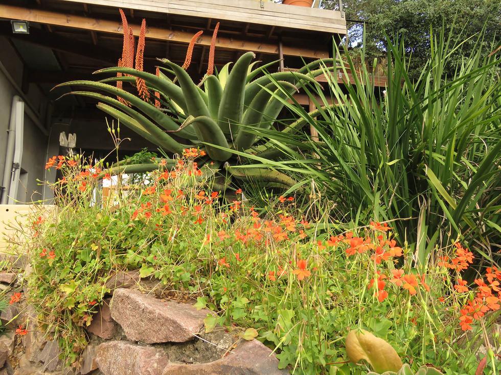 Aloe ferox and Pelargonium tongaense