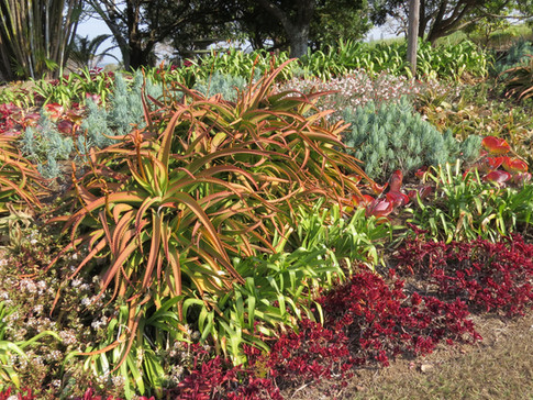 Winter succulents cheer up a dry, brown landscape