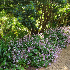 Plectranthus groundcovers for shade