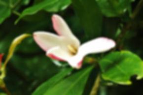 Hyperacanthus amoenus
