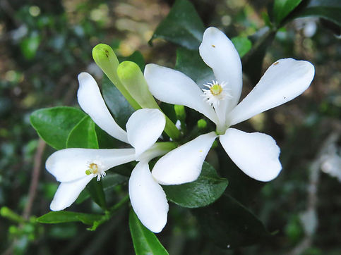 Turraea obtusifolia