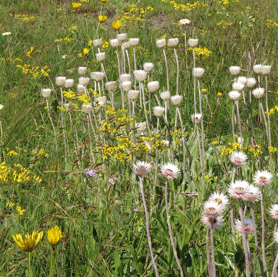 A-grassland