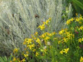 Cineraria saxifraga