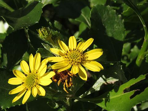 Osteospermum moniliferum subsp. moniliferum