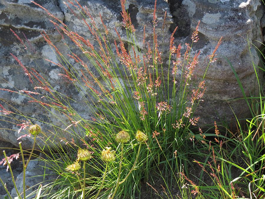 Melinis grasses