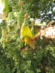 Crotalaria capensis