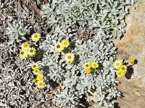 Helichrysum argyrophyllum