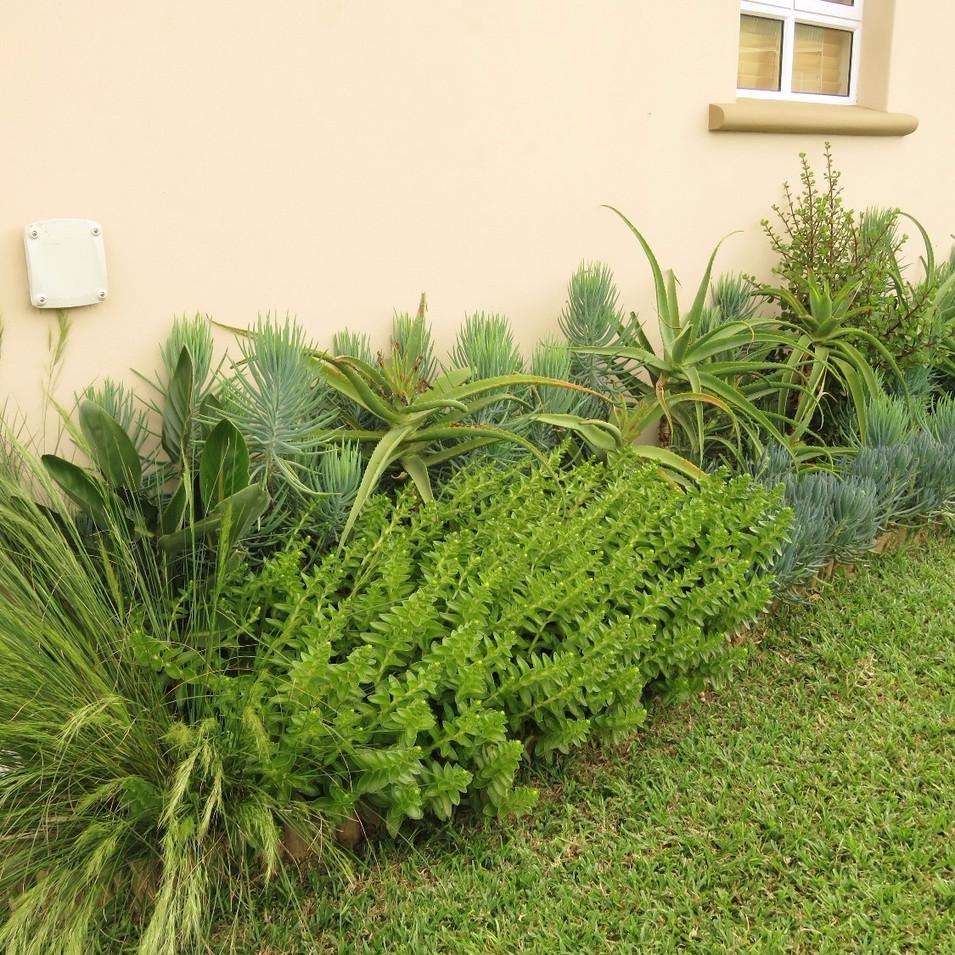 Front from left: Aristida juncifomis; Crassula capitella, Curio crassulifolius. Back from left: Strelitzia reginae; Curio aizoides, Aloe species; Portulacaria afra.