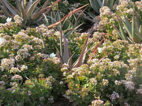 Crassula-sarmentosa-embraces-a-clutch-of-Aloe-chabaudii