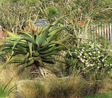 Aloe ferox & Crassula ovata